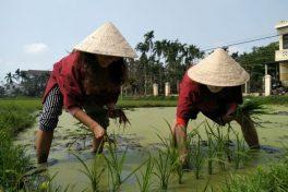 A day as a rice farmer in Hoi An