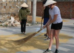 rice-drying_30747076731_o