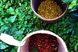 Coffee Tour at K'ho Coffee Farm